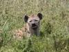 Hyène tachetée, parc Masaï Mara (Kenya)