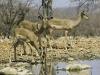 Impalas à face noire en train de boire, Ongava, parc national Etosha (Namibie) © Dana Allen