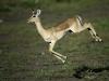 Jeune impala femelle bondissant, Pafuri, parc national Kruger (Afrique du Sud) © Dana Allen