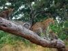 Léopard femelle avec ses petits, delta de l\'Okavango (Botswana) © Yolanda Woodrow, Wilderness Safaris