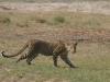 Léopard, parc national Chobe (Botswana) © ae