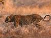 Léopard, parc national Luangwa (Zambie) © Kaingo Safaris