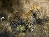 Léopard, delta de l\'Okavango (Botswana) © Dana Allen