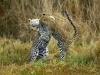 Jeune léopard jouant avec sa mère, delta de l\'Okavango (Botswana) © Dana Allen