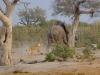 Lionne qui chasse un jeune éléphant, Savuti (Botswana) © ae