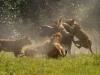 Lions chassant un buffle, delta de l\'Okavango (Botswana) © J. Rawdon