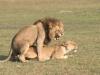 Lions qui s\'accouplent, delta de l\'Okavango (Botswana) © ae