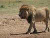 Lion mâle, Savuti (Botswana) © ae
