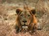 Lion mâle, Gorongosa (Mozambique)