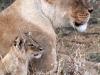 Lionne et son très jeune lionceau, parc national Hwange (Zimbabwe)