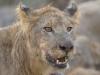 Jeune lion mâle qui vient se nourrir, parc national Kruger (Afrique du Sud) © A. et M. Allemand