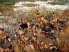 Meute de lycaons au bord de l\'eau, delta de l\'Okavango (Botswana) © Wilderness Safaris