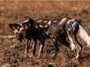 Lycaons, parc national Luangwa (Zambie) © Kaingo Safaris