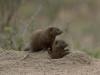 mangoustes nains sortent leur terrier parc kruger afrique du sud