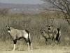 Famille d\'oryx à Ongava, parc national Etosha (Namibie) © Dana Allen