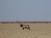 Oryx dans le parc Central Kalahari (Botswana) © ae