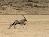 Oryx courant dans le désert près du camp Serra Cafema, vallée Hartmann (Namibie) © Dana Allen