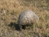 Pangolin, plaines Busanga, parc national Kafue (Zambie) © ae