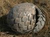 Pangolin roulé en boule, plaines Busanga, parc national Kafue (Zambie) © ae