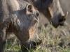 Phacochère femelle, qui porte beaucoup moins d\'excroissances sur la tête que le mâle, parc national Kruger (Afrique du Sud) © A. et M. Allemand