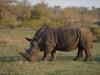 Rhinocéros blanc ou à bouche plate couvert de poussière, parc national Kruger (Afrique du Sud) © A. et M. Allemand