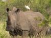 Rhinocéros blanc, parc national Kruger (Afrique du Sud)