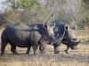 Rhinocéros blancs entourés de pique-bœufs à bec rouge, parc national Kruger (Afrique du Sud) © ae