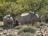 Rhinocéros noir femelle et son petit dans une position défensive, Ongava, parc national Etosha (Namibie) © Dana Allen
