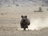 Rhinocéros noir courant près du camp Doro Nawas, Damaraland (Namibie) © Dana Allen
