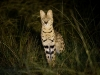 Serval, parc national Nyika (Malawi) © Allen