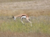 namibie-etosha-springbok