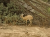 steenbok etosha national park namibie