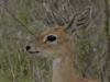 steenbok parc kruger afrique du sud