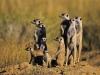 Groupe de suricates dans le Kalahari près du camp Jack, parc national Makgadikgadi Pans (Botswana)