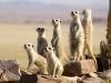 Groupe de suricates à Rostock Ritz, Sossusvlei, désert du Namib (Namibie)