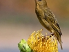 cape-weaver-female-on-protea