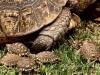 jeunes-tortues