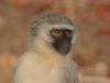 Vervet, parc national Kruger (Afrique du Sud) © A. et M. Allemand