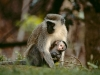 Vervet femelle avec son bébé