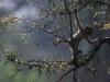 Jeune vervet jouant dans les arbres © P. de Wilde
