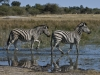 Zèbres de Burchell à Mombo dans le delta de l\'Okavango (Botswana) © Mike Meyers