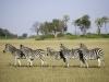 Groupe de zèbres, delta de l\'Okavango © Dana Allen