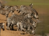 Troupeau de zèbres en train de boire, parc national Luangwa (Zambie) © Shenton Safaris