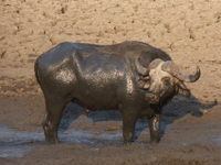 Buffle, parc national de Hwange, Zimbabwe