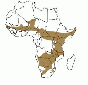 Répartition géographique du léopard en Afrique