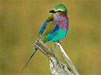 Guide des Oiseaux de safari africain