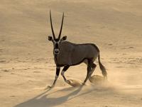 Oryx en Namibie, dans les dunes de Cerra Cafema
