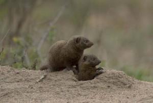 Mangouste naines Parc Kruger