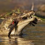 Crocodile et pic boeuf