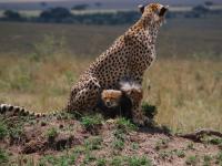 Famille de guépards, Kenya